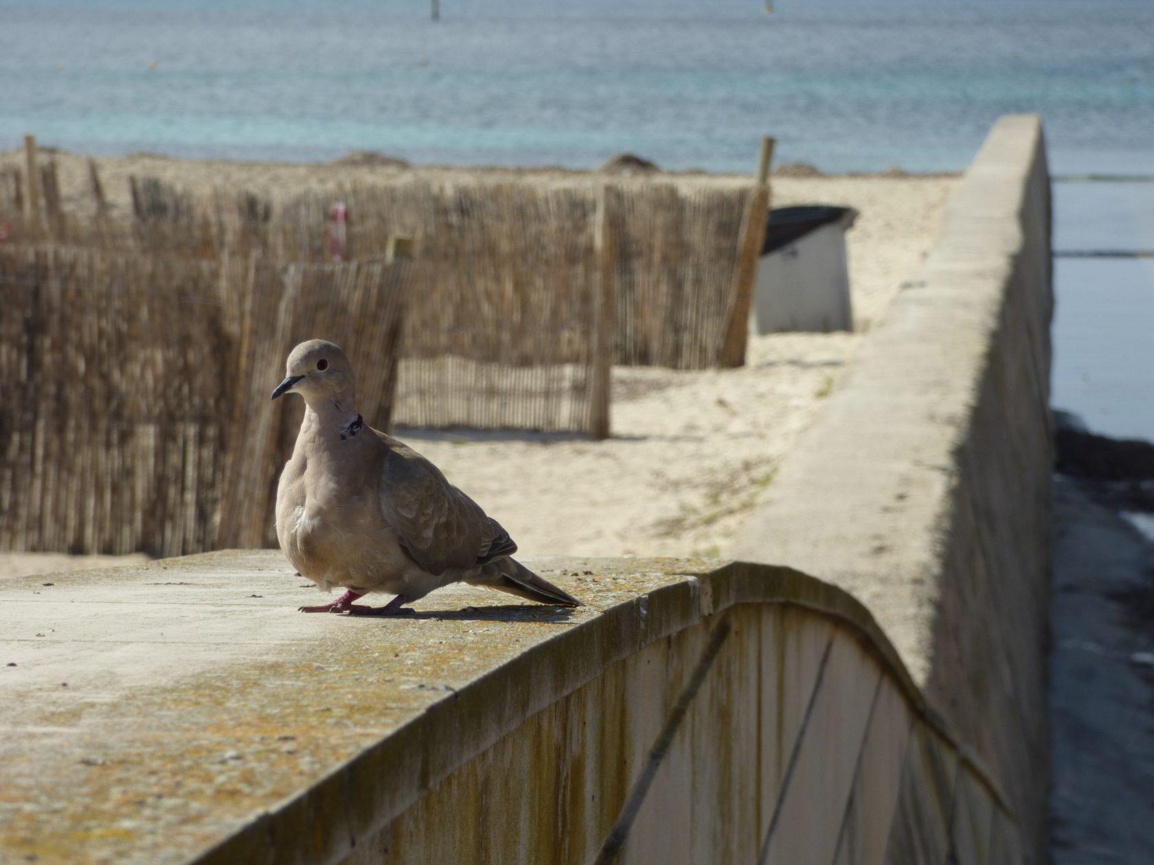 Auf der Mauer sitzt eine Taube gurr