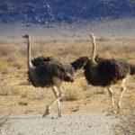 Strauße laufen über die Wüstenlandschaft