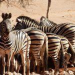 Herde Zebras an der Wasserstelle Wolwedans