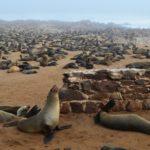 Tausende Robben am Meer