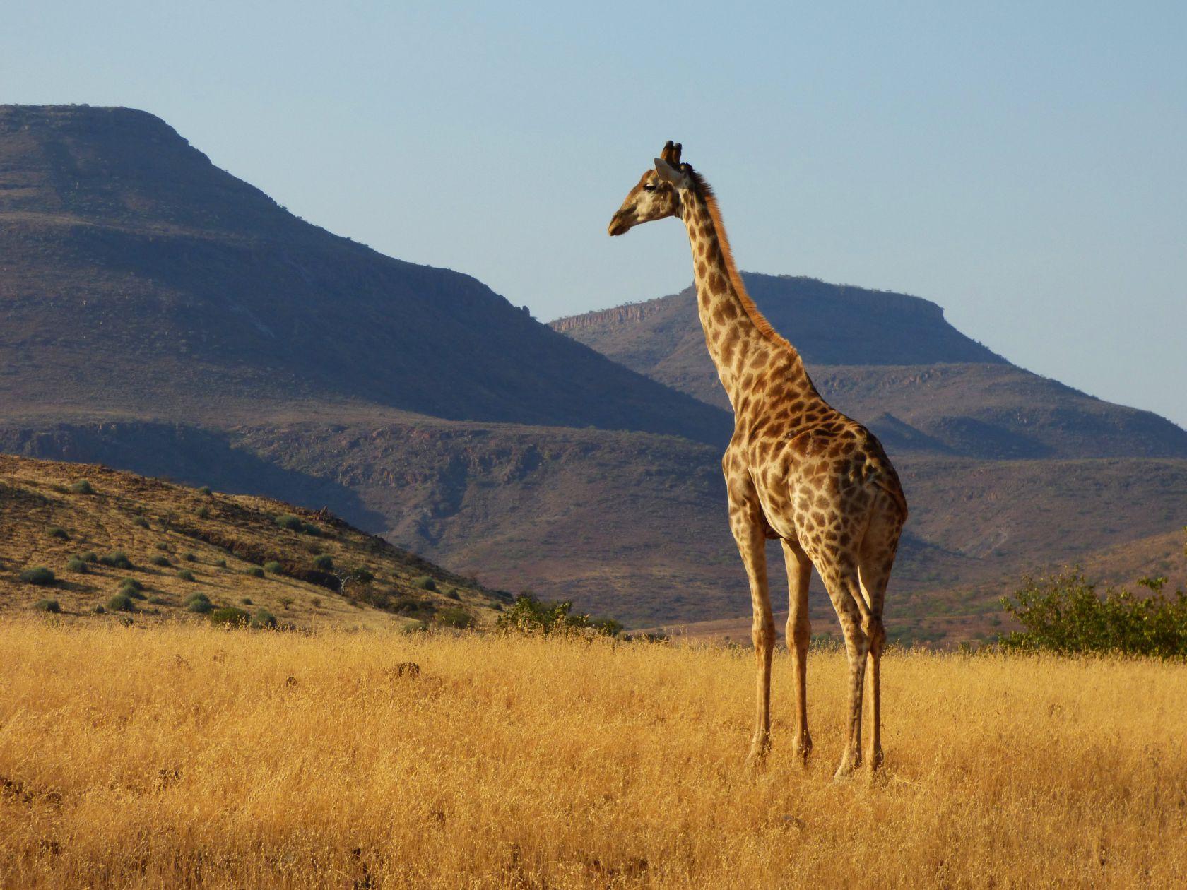 Giraffe sieht über die Berge von Etendeka