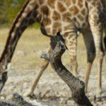 Vogel und Giraffe am Wasserloch in Etosha