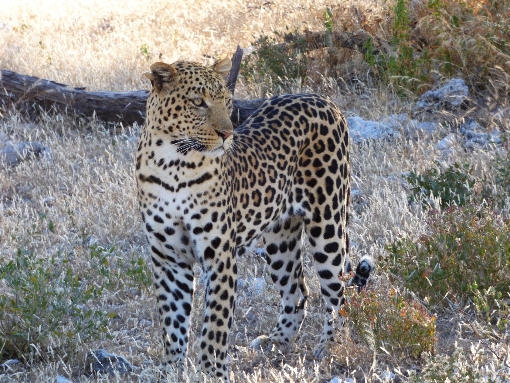 Leopard im Etosha National Park